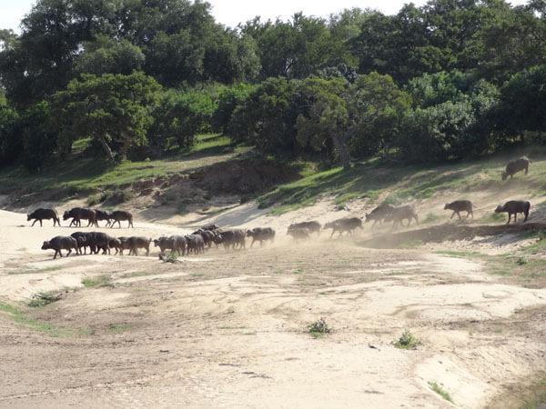 Africam Buffalo