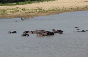 Closer view of the hippos