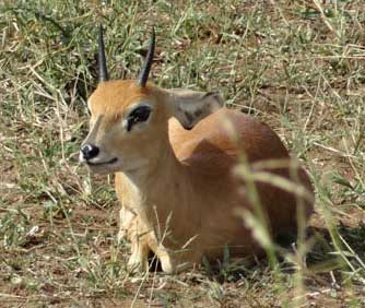 Steenbok ram (May 2013)
