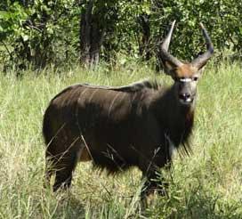 Nyala bull (May 2014)