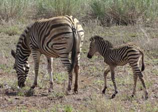 Zebras (January 2016)
