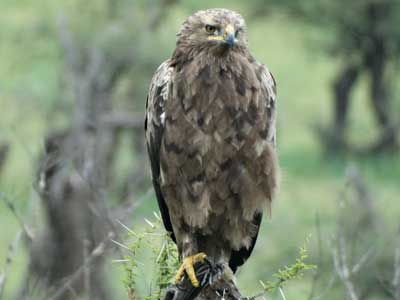 Front view of immature Tawny Eagle