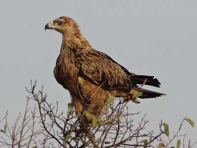 Mature Tawny Eagle seen in the south