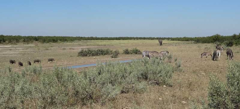 The southern end showing the front trough - the back one is centre left of the photo.  The elephant is making his way back along the marshy course of the Malopenyane River.  To the left of the trough is a family of Warthogs. In the foreground are the mystery shrubs!
