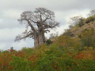 A close-up of the baobab, now bare of foliage.