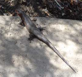 Rough-scaled Plated Lizard