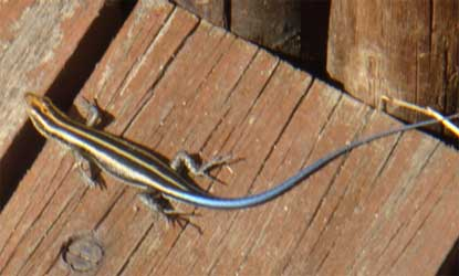 Rainbow Skink seen at the Pioneer Hide. The tail is bright blue, looking as though it has been dipped in a tin of paint!
