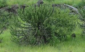 Euphorbia - the Candelabra Cactus Tree.  The milky sap is very toxic.
