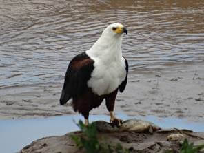 Fish Eagle with breakfast!