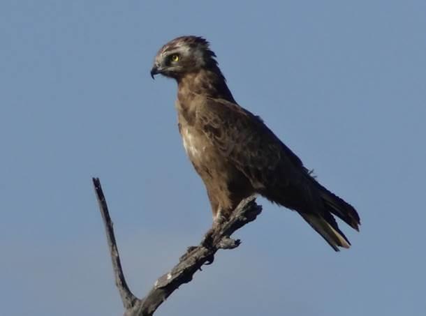 Best Snake Eagle sighting ever!
