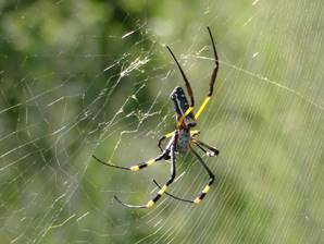 Golden Orb Spider from above.