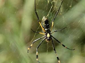 Golden Orb Spider from underneath.