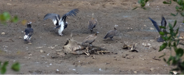 White-headed Vultures (with white feathers) and Hooded Vultures.