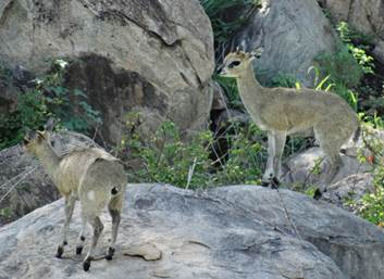 Daddy Klipspringer with his lamb