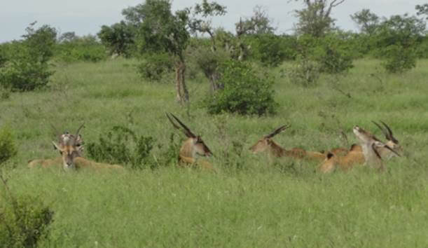 Part of the Eland herd.