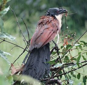 Drenched Burchell's Coucal with drenched breakfast!